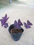 """画像2: オキザリス""""紫の舞""""3.5号[レグネリー、トリアンギュラス、トライアングルグラス] (2)"""