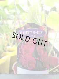 八重咲ホリホック【紫/パープル】[タチアオイ]3号