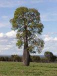 """画像4: ボトルツリー""""クイーンズランド""""[ブラキチトン、オーストラリアンバオバブ]10号素焼き鉢 (4)"""