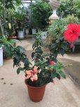 画像1: 【原種コーラル系】ハイビスカス(赤花)&フラミンゴ(オレンジ花)2品種寄せ植え6号 (1)