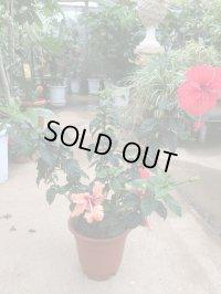 【原種コーラル系】ハイビスカス(赤花)&フラミンゴ(オレンジ花)2品種寄せ植え6号