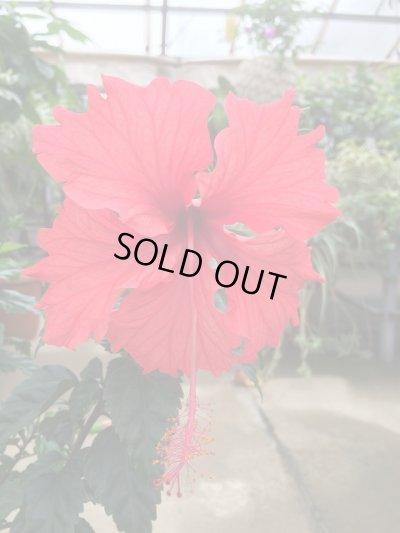 画像2: 【原種コーラル系】ハイビスカス(赤花)&フラミンゴ(オレンジ花)2品種寄せ植え6号