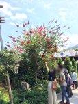 画像1: サンゴシトウ【コーラルツリー、ヒシバデイゴ】8号 (1)