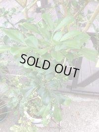 【希少】【送料無料】斑入りアグライア オドラータ2品種植え[樹蘭]10号