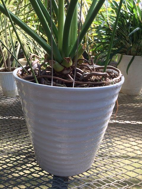 画像2: 【アジアン、和モダン】フィロデンドロン・セロウム[セローム]9号大苗陶器鉢(C)