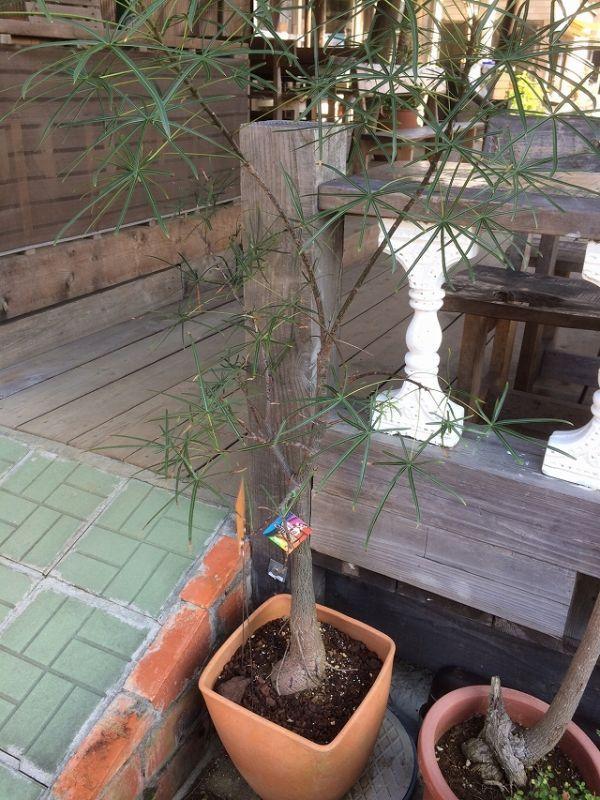 """画像2: ボトルツリー""""クイーンズランド""""[ブラキチトン、オーストラリアンバオバブ]10号素焼き鉢"""