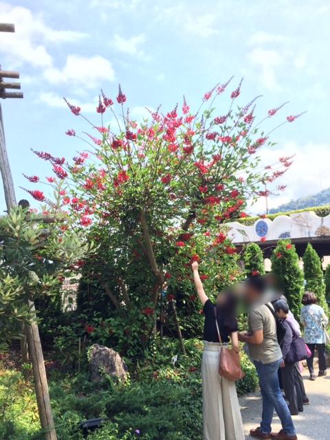 画像1: サンゴシトウ【コーラルツリー、ヒシバデイゴ】8号