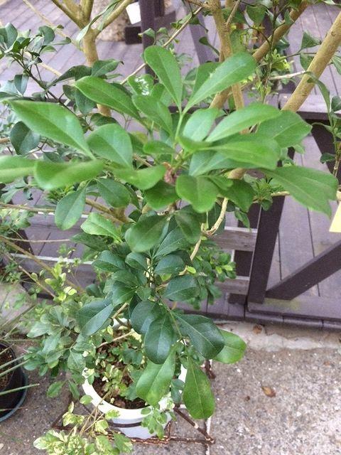 画像1: 【希少】【送料無料】斑入りアグライア オドラータ2品種植え[樹蘭]10号