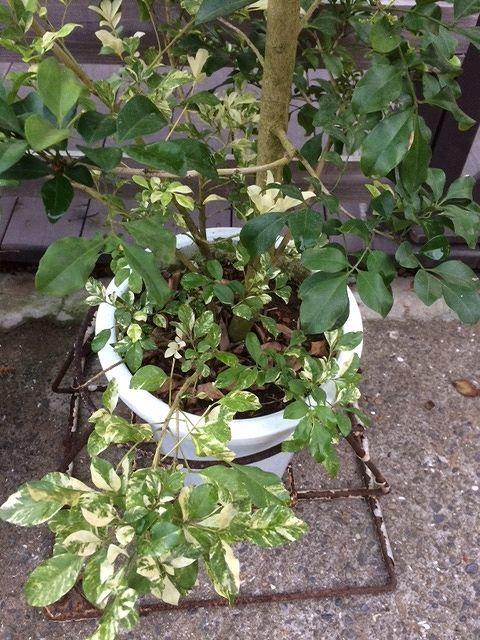 画像2: 【希少】【送料無料】斑入りアグライア オドラータ2品種植え[樹蘭]10号