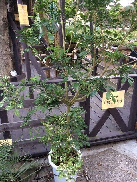 画像3: 【希少】【送料無料】斑入りアグライア オドラータ2品種植え[樹蘭]10号